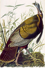 Audubon : Le dindon sauvage (wild turkey)
