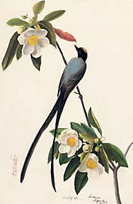 Audubon : tyran des savances